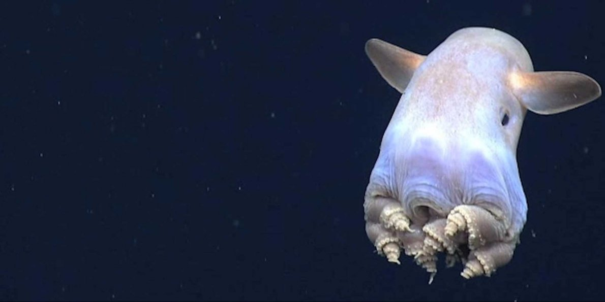scientists-spotted-an-octopus-with-ears-doing-something-theyve-never-seen-before